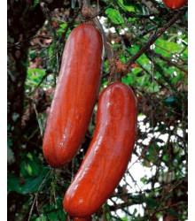 Casabanan - Muškátová okurka - Sicana odorifera - osivo muškátové okurky - 6 ks