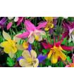 Orlíček velkokvětý - směs barev - Aquilegia caerulea - semena trvalek - 0,3 gr