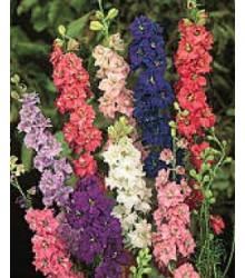 More about Stračka zahradní hyacintokvětá směs barev - Delphinium ajacis - osivo stračky - 300 ks