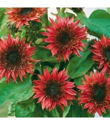 More about Slunečnice roční F1 červená Double dandy - Helianthus annuus - osivo slunečnice - 6 ks