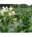 Tabák virginský mix odrůd - 25 ks