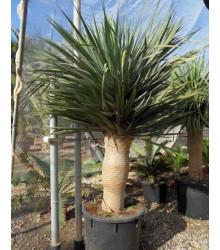 Dračinec obrovský - Dračí strom - Draceana draco - osivo dračince - 4 ks