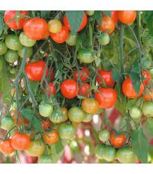 Převislé rajče Tom Red - Lycopersicon esculentum - osivo rajčat - 8 ks