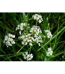 More about BIO semena kerblík setý - prodej bio semen - Anthriscus - prodej bio semen cerefolium - 0,8 g