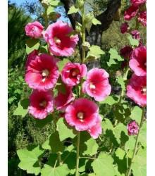 More about Topolovka plnokvětá růžová - Alcea rosea - semena topolovky- 0,4 gr