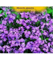 More about Pomněnka alpinská - Myosotis alpestris - semena pomněnky - 180 ks