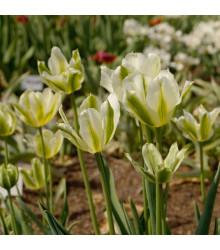 More about Tulipán Spring green - Tulipa - cibule tulipánů - 3 ks