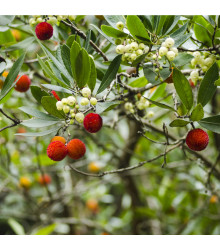 More about Jahodový strom - Planika obecná - Arbutus unedo - osivo jahodového stromu - 5 ks