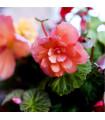 Begónie převislá plnokvětá růžová - Begonia pendula maxima - prodej cibulovin - 2 ks