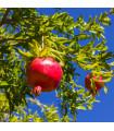 Granátovník- Punica Granatum- semena 5 ks