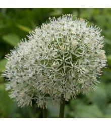 Česnek Mount Everest - Allium - cibule česneku - 1 ks