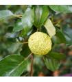 Maklura oranžová - Maclura pomifera - prodej semen - 5 ks