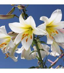 Lilie královská bílá - Lilium regale album - cibule lilií - 1 ks