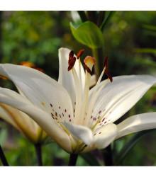 Lilie White tiger - lilium - cibule lilie - 1 ks