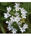 Česnek okrasný - Allium neapolitanum - holandské cibuloviny - 3 ks