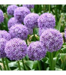 Česnek Gladiator - Allium giganteum - cibule česneku - 1 ks