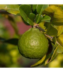 Kafrová limetka - Citrus hystrix - osivo limetky - 3 ks
