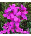 Měsíčnice roční Honesty - Lunaria annua - prodej semínek dvouletek - 0,8 gr