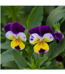 Violka rohatá Johnny Jump - Viola cornuta - osivo violky - 300 ks