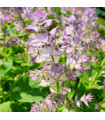 Šalvěj muškátová - Salvia sclarea - semínka - 50 ks