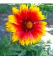 Kokarda jednoduchá - Gaillardia pulchella - prodej semene trvalek - 70 ks