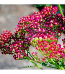 More about Řebříček obecný Cerise Queen - Achillea millefolium - osivo řebříčku - 0,1 g