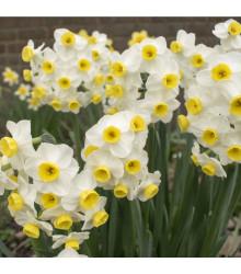 Narcis Minnow - Narcissus - cibule narcisů - 3 ks