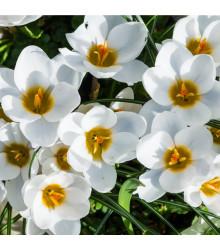 Krokus Ard Schenk - Crocus Chrysanthus - cibule krokusů - 3 ks