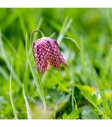 Řebčík kostkovaný - Fritillaria meleagris - cibule řebčíku - 3 ks
