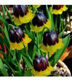 Řebčík Uva-vulpis - Fritillaria - prodej cibulovin - 2 ks