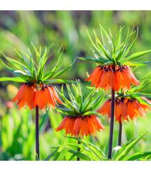 Řebčík královský - Fritillaria imperialis aurora - cibule řebčíku - 1 ks