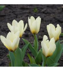 Tulipán Concerto - Tulipa - cibule tulipánů - 3 ks
