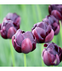 Tulipán Black Hero - Tulipa - cibule tulipánů - 3 ks