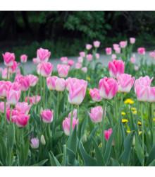 Tulipán Dynasty - Tulipa - cibule tulipánů - 3 ks