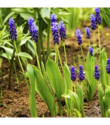 Modřenec širokolistý - Muscari latifolium - cibule modřence - 5 ks