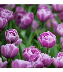 Tulipán Blue Diamond - Tulipa - cibule tulipánů - 3 ks