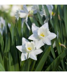Narcis Tresamble - Narcissus - cibule narcisů - 3 ks