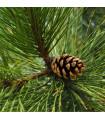 Borovice černá - Pinus nigra - prodej semen borovice - 4 ks