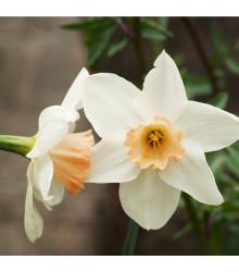 Narcis Salome - Narcissus - cibule narcisů - 3 ks