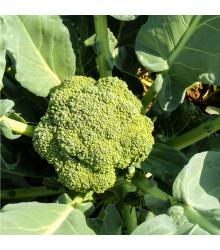 More about Brokolice Cezar - Brassica oleracea - semena brokolice - 0,6 gr
