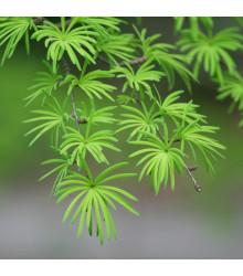 Pamodřín líbezný - Pseudolarix amabilis - prodej semen - 6 ks