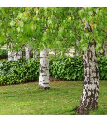 Bříza bělokorá - prodej semen břízy - Betula pendula - 15 ks