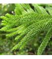 Kroptoméria japonská - Cryptomeria japonica - semena bonsaje - 4 ks