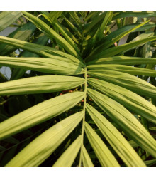 Chamaedorea sličná - Chamaedorea elegans - semena Chamaedory - 5 ks