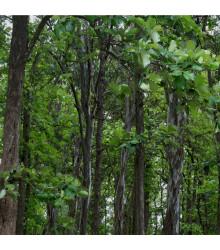 Teka obrovská - Tectona grandis - teakové dřevo - prodej semen - 7 ks