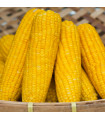 Kukuřice setá Tatonka F1 - Zea Mays - semena kukuřice - 5 g