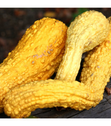 Tykev okrasná - Yellow Crookneck - Cucurbita pepo - 5 ks