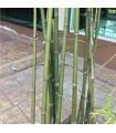 Bambus obrovský- semena- 5 ks