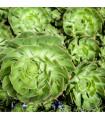 Aeonium- Růžicovka- semena- 5 ks