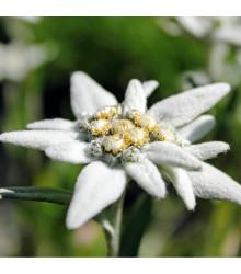 Protěž alpská - Plesnivec alpínský - Leontopodium alpinum - osivo protěže - 15 ks